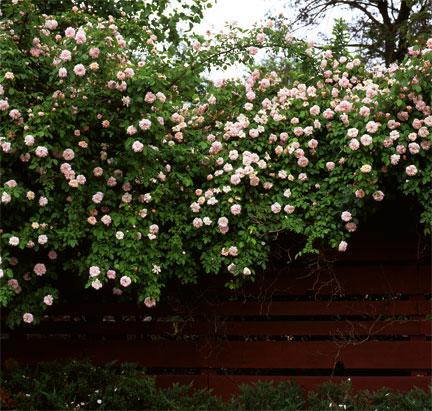 Rose Of The Week Cecile Brunner Part 1 Rose Notes
