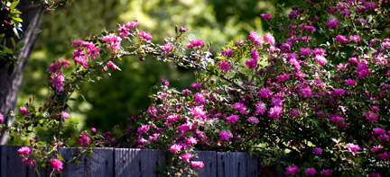 Rouletii-Rose-on-Fence