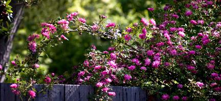 Rouletii-Rose-on-Fence