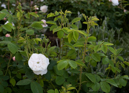 Madame-hardy-shrub