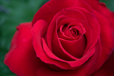 Marilyn-wellan-rose