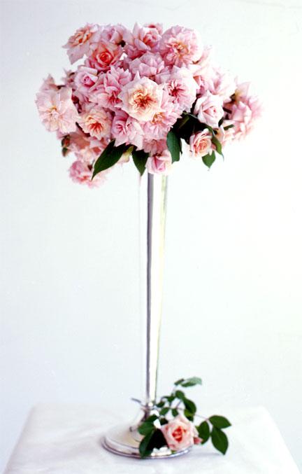 Rose Of The Week Cecile Brunner Part 2 Rose Notes