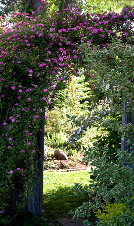 Rouletii-Rose-Arch