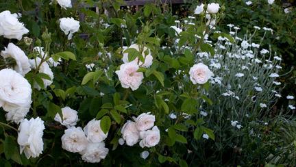 rose of the week 39 madame hardy 39 rose notes. Black Bedroom Furniture Sets. Home Design Ideas