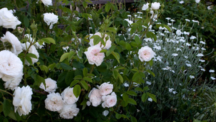 Madame-hardy-garden