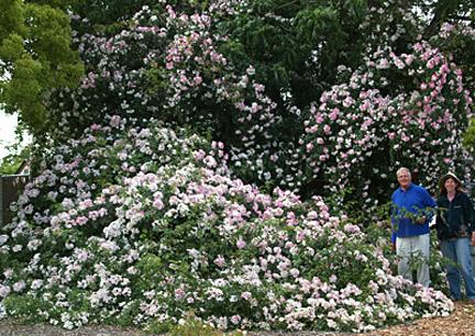 San-jose-heritage-rose-garden