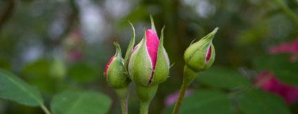 Gertrude-Jekyll-rose-buds