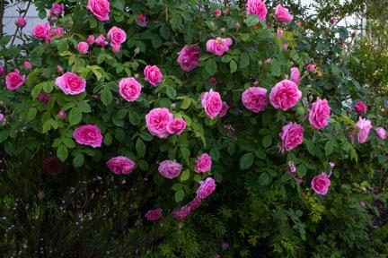 Gertrude-Jekyll-bush