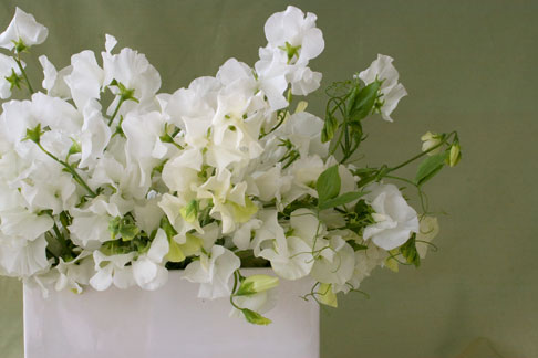 Sweet peas part 3 an opulent lift rose notes sweet pea filler mightylinksfo Image collections