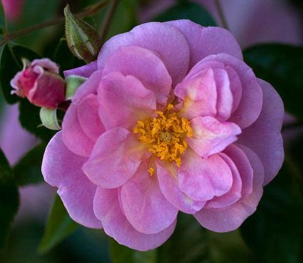 Renae-rose-portrait