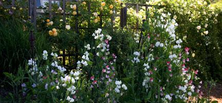 Sweet-peas-in-the-garden