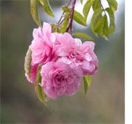 Renae-rose