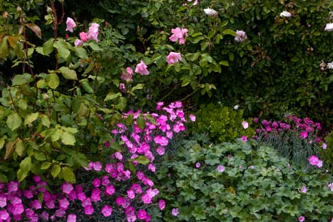 Companions Plants For Roses Let S Do Pink Rose Notes