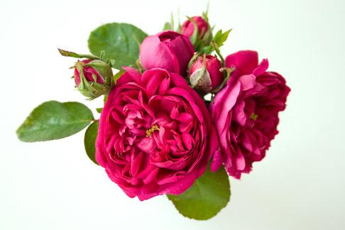 Rose-de-resct-cluster