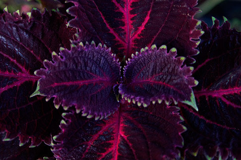 Purple-coleus1
