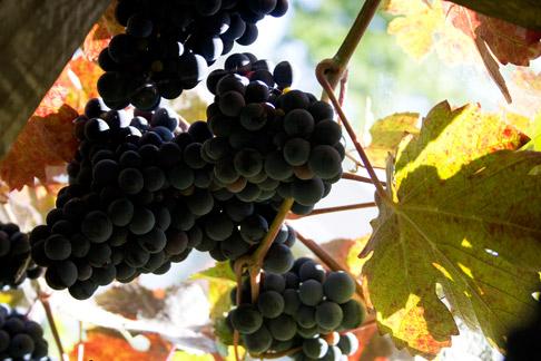 Underneath-grapes