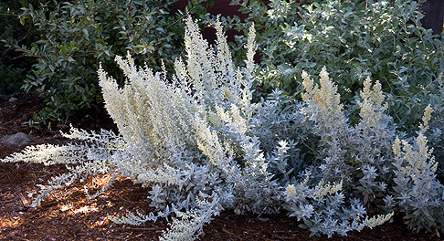 Silver-king-artemesia