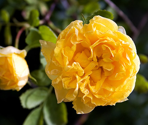 Persian-Yellow-Rose