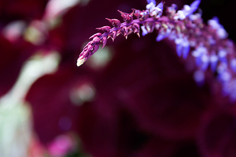 Purple-coleus