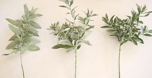 Artemesia-sprigs