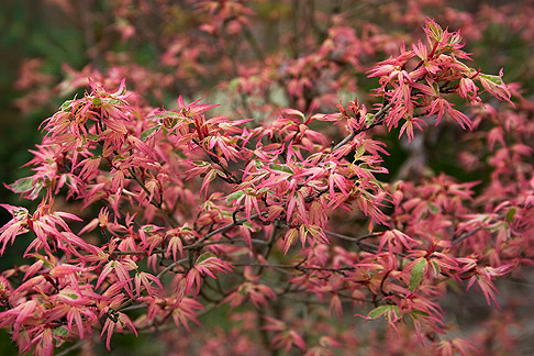 Butterfly Variegated Japanese Maple Japanese Maple 'butterfly' in