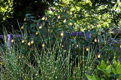Miscaanthus senensis 'Gold Bar'