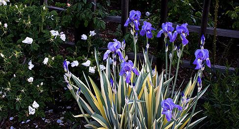 Iris pallida 'Variagata'