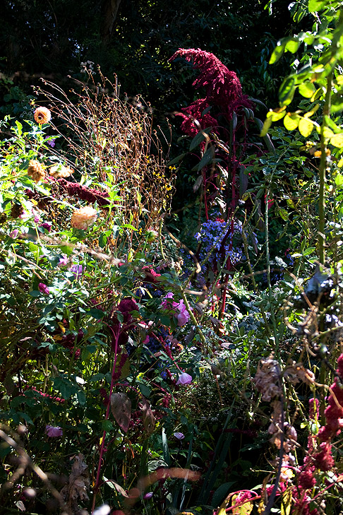 Amaranth in Barbara Worl's garden