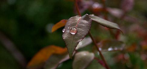 Raindrop-on-rose-leaf