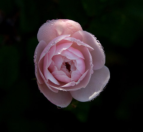 Little White Pet Rose