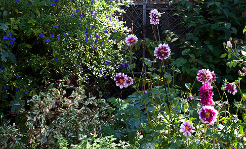Dahlia in barbara worls garden