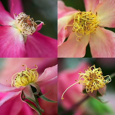 Mutabalis-Rose-Stamens-$