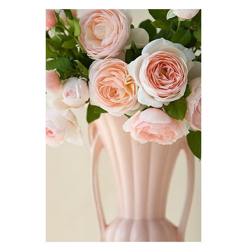 Heritage-Austing-Rose