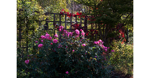 Monsieur-Tillier-Rose-Bush
