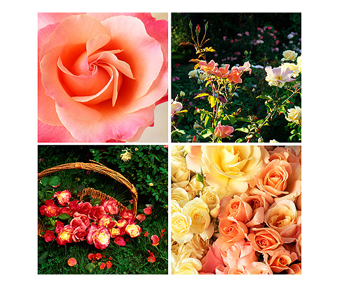 Poetry-of-Roses-Book-Photos