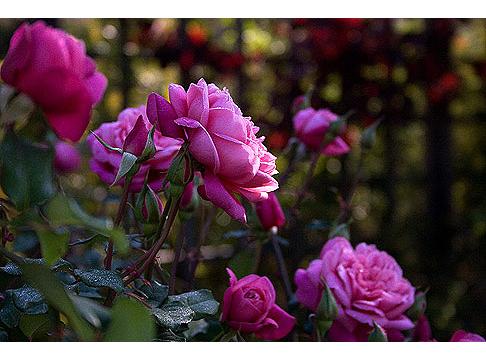 Monsieur-Tillier-Rose