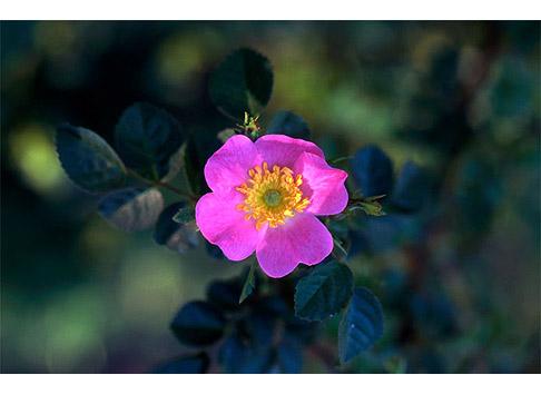 Rosa-Eglantine