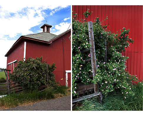 Blooming-Eglantine-by-a-Red-Barn