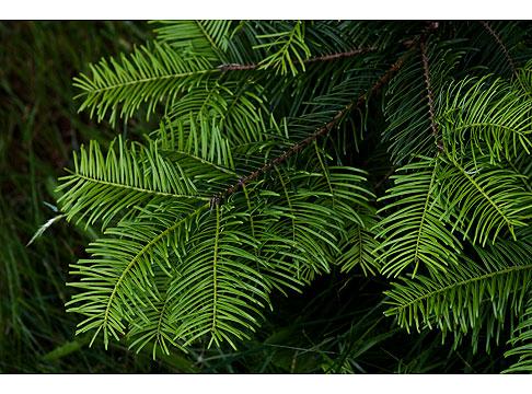 Douglas-Fir-Tree