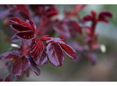 Duet-Rose-Leaves