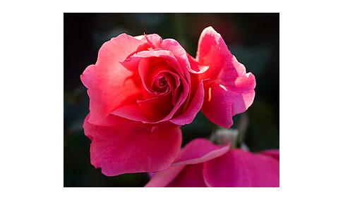 Duet-Rose