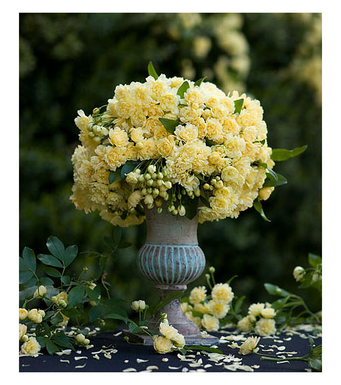 Lady Banks Rose Banksia Lutea Rose Notes