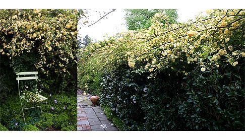 Rosa Banksia Lutea Hedge