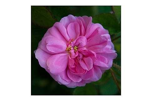 Moss-Rose-Bloom