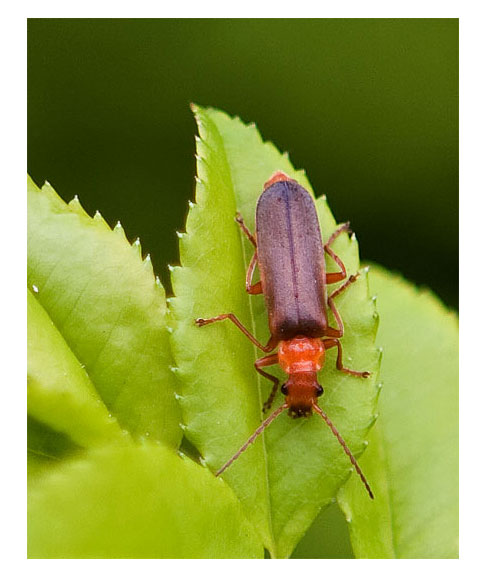 Cantharidae-Soldier-Beetle
