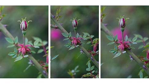 Rouletii Rose Buds