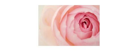 Pink-rose-1