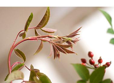Rosa-Multiflora-Hips