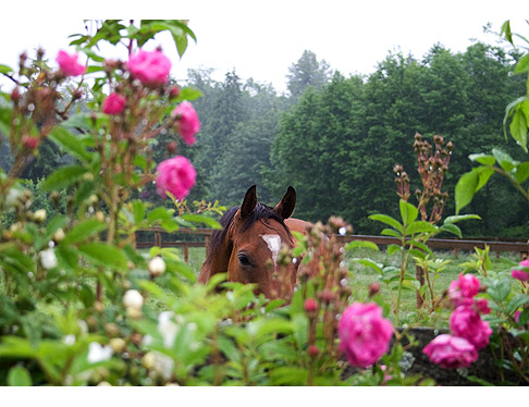 Horse-and-Roses