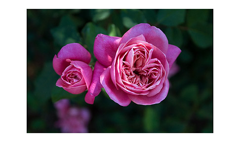 Monsieur-Tillier-Rose--Photo